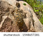 Stock photo the pancake or flat tortoise is an endemic chelonid found only in the rocky areas of kenya and 1548657281
