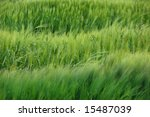 Green abstract view of wheat and grass on a windy day - stock photo