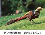 Beautiful Bird Golden Pheasant...