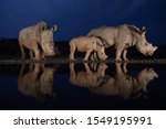 Two White Rhino Families...