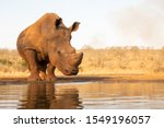 Lone White Rhino About To Drink ...