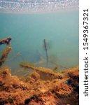 underwater freshwater flora ... | Shutterstock . vector #1549367321