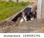 Stock photo a little kitten is playing outside playful kitten in the garden preparing to attack lurking 1549391741