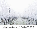 Snow Covered Vineyard In The...