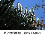 Dense Growing Tall Euphorbia...