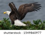 Bald Eagle Stretches Wings...