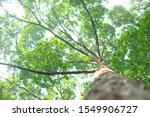 Small photo of a point of view from bottom of big tree to top. Can use for a background also imply to the hope and peaceful