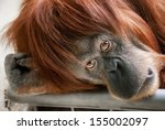 Stock photo emotionally touching portrait of a beautiful orangutan looking directly into the camera 155002097