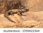 Small photo of Armadillo Girdled lizard, South Africa