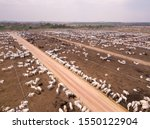 Aerial Drone View Of Many Oxen...