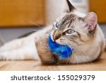 Stock photo young birman kitten playing with a fluffy toy 155029379