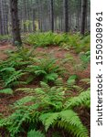 Ferns grow amongst the pines in a plantation forest in Whitefish Dunes State Park in Door County, Wisconsin