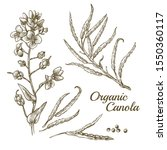 canola flower  organic colza or ... | Shutterstock .eps vector #1550360117