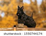 Portrait Of Scottish Terrier...