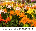 Small photo of LIlium flower, Lilium bulbiferum, common names orange lily, fire lily and tiger lily, is a herbaceous European lily with underground bulbs, belonging to the Liliaceae.