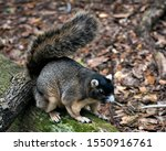 Sherman's Fox Squirrel Sitting...