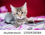 Stock photo the striped kitten lies on a pink blanket the kitten put a paw on the smartphone phone sad kitten 1550928584