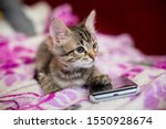 Stock photo the striped kitten lies on a pink blanket the kitten put a paw on the smartphone phone sad kitten 1550928674