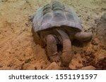 Stock photo ploughshare tortoise eating in sand 1551191597