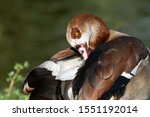 Egyptian Goose Cleaning...
