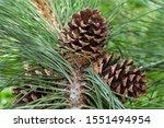 Cones  Ponderosa Pine  Pinus...