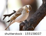 yellow throated petronia ... | Shutterstock . vector #155158037