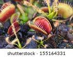 Carnivorous Venus Fly Traps ...
