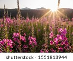 Fireweed Glowing From The...