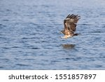 Black Eared Kite In Flight Over ...