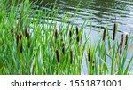 Fresh Cattail In The Pond ...