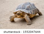 Stock photo african spurred tortoise sulcata tortoise centrochelys sulcata testudo sulcata native to 1552047644