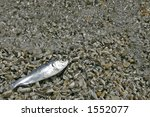 Small photo of Alewife washed up on beach