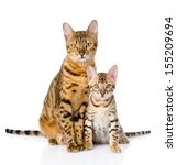Stock photo two bengal cats mother cat and cub isolated on white background 155209694