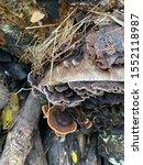 Small photo of Wild wet mushrooms on wet logs