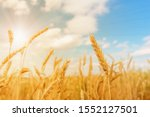 View Of Wheat Ears And Blue...