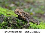 Asian Common Toad  Black Spine...