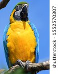 Portrait Of A Blue And Yellow...