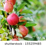 red apples closeup  tree branch ... | Shutterstock . vector #155259485