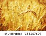 Closeup On Golden Wheat Field...