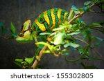 the veiled chameleon  chamaeleo ... | Shutterstock . vector #155302805
