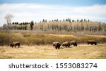 Buffaloes in the Mount-Riding National Park in Manitoba, Canada