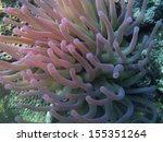 Giant Anemone In The Caribbean...