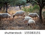 Sheep Walking In Mountain In...