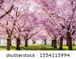 Small photo of Sakura Cherry blossoming alley. Wonderful scenic park with rows of blooming cherry sakura trees and green lawn in spring, Germany. Pink flowers of cherry tree.