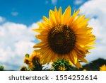 Yellow Sunflowers In Sunshine....