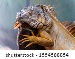 Close Up View Of Green Iguana...