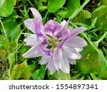 eichhornia  water hyacinth.... | Shutterstock . vector #1554897341