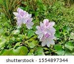 eichhornia  water hyacinth.... | Shutterstock . vector #1554897344