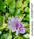 eichhornia  water hyacinth.... | Shutterstock . vector #1554897347