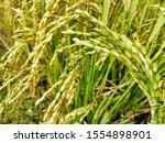 rice tree nature rice fields.... | Shutterstock . vector #1554898901